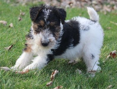 Wjjaie Young Wire Fox Terriers Puppies
