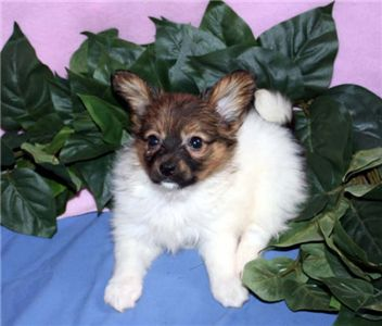 cutepairofchihuahuapuppiesforadoption
