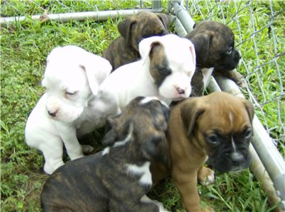 akcboxerpuppies