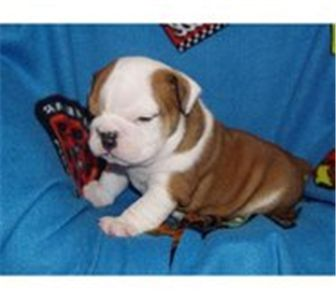 englishbulldogpuppiesforadoption