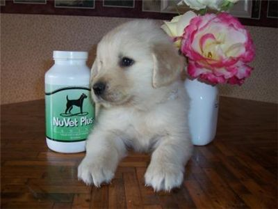 goldenretrieverforsale