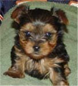 noelovelyyorkiepuppyforfreeadoption