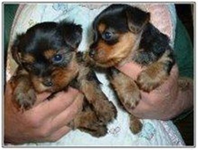 theseareakcregisteredyorkiepuppiesforadopti