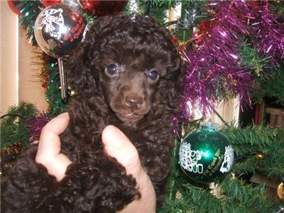 Magnificient Poodles Puppies