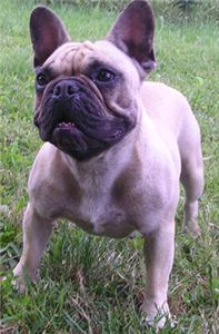 *french bulldog fawn female*