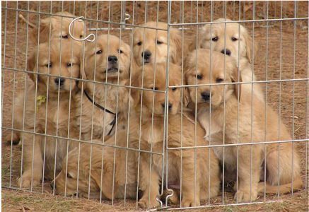 cute and adorable golden retriever for sale