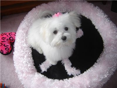 cute and adorable maltese for sale