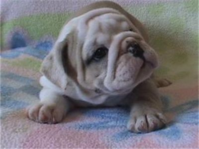 femaleenglishbulldogpuppyforadoption
