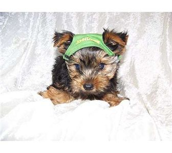 affectionateyorkiepuppiesforadoption