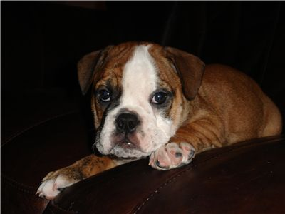 GorgeousFemaleEnglishBulldogPuppy