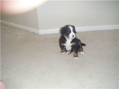 BerneseMountainDogPuppies