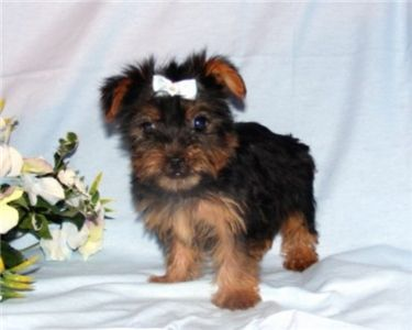 CuteandAffectionateYorkiePuppyForAdoption