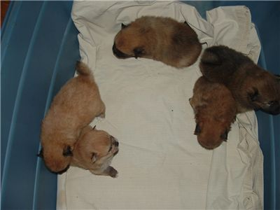 CKCPomeranianpuppies