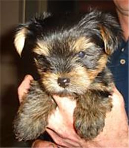 GORGEOUSLITTLEFEMALEYORKIEFORFREEADOPTION