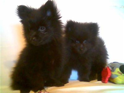 AdorableBlackPomeranianPuppies