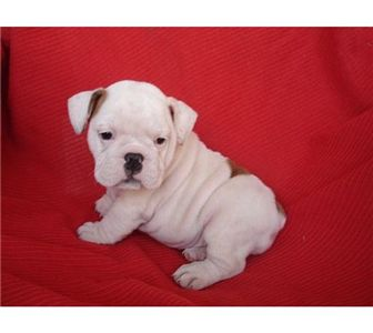 femaleenglishbulldogforadoption