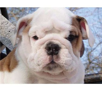 cuteandlovelybulldogspuppiesforsalee