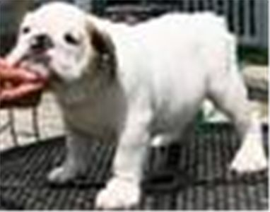 english bull dogs for free adoption