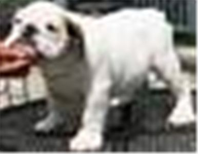 bestenglishbulldogsforfreeadoption