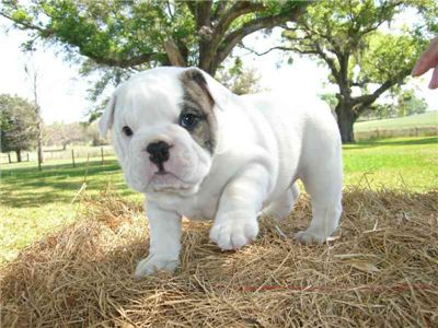 Englishbulldopgpuppyforadoption