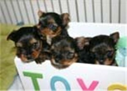 Lovelyteacupyorkiepuppiesforadption