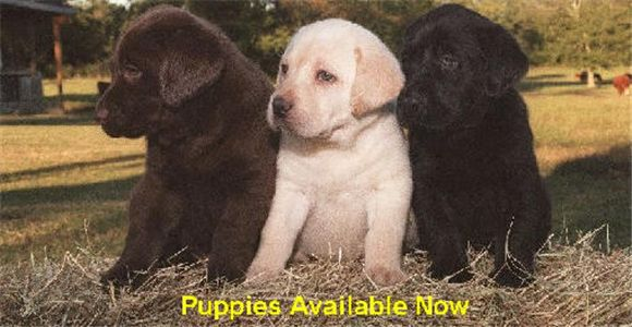 WEEKLABPUPPIESFORSALE