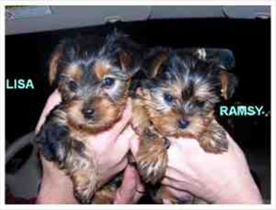 yorkiepuppiesforadoption