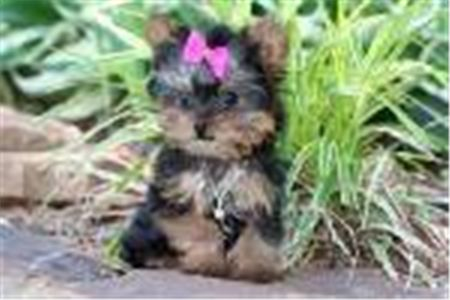 CuteYorkiepuppiesforcaringhome