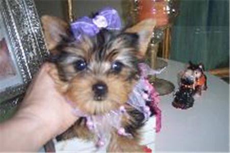 Adorableyorkiepuppiesforadoption